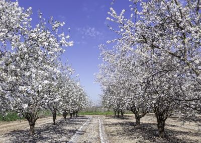 Almond Orchard_prolific blooms as a result of aggressive fertilization program